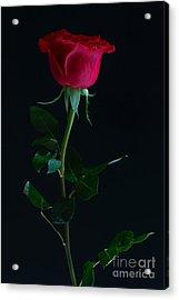 Rose On Black Acrylic Print by Svitlana Imnadze
