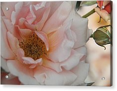 Rose - One Of A Kind Acrylic Print by Dervent Wiltshire