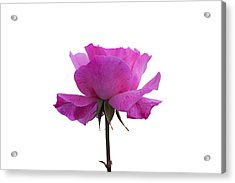 Rose Over White Background Acrylic Print