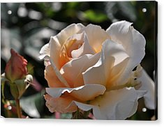 Acrylic Print featuring the photograph Rose Pegasus by Sabine Edrissi