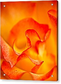 Rose Petals Closeup Acrylic Print
