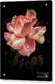 Rose Petals With Raindrops Acrylic Print