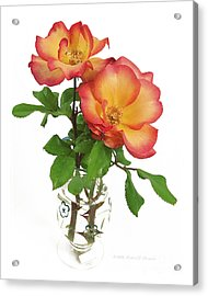 Rose 'playboy' Acrylic Print