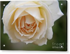 Acrylic Print featuring the photograph Rose... Pure And Simple  by Lynn England