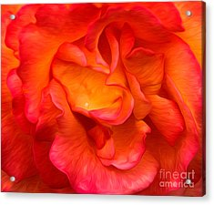 Rose Red Orange Yellow Acrylic Print