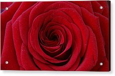 Acrylic Print featuring the photograph Rose Red by Shawn Marlow
