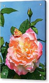 Rose (rosa 'arc De Triomphe') Acrylic Print by Brian Gadsby