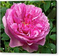 Rose (rosa 'cessa') Flower Acrylic Print by Ian Gowland