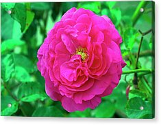 Rose (rosa 'karlsruhe') Acrylic Print by Neil Joy/science Photo Library