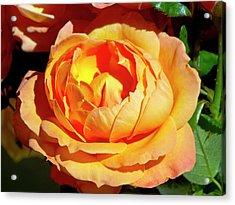Rose (rosa 'lady Marmalade ') Flower Acrylic Print by Ian Gowland