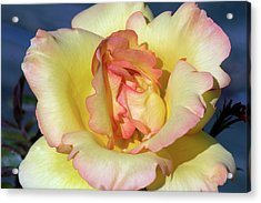 Rose (rosa 'parure D'or') Acrylic Print by Brian Gadsby/science Photo Library