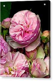 Rose (rosa 'the Enchantress') Flowers Acrylic Print by Ian Gowland