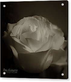 Rose Shadow And Light Acrylic Print