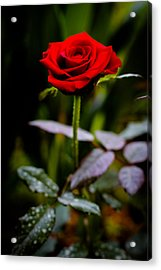 Rose Singapore Flower Acrylic Print by Donald Chen