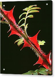 Rose Thorns Acrylic Print by Sheila Terry/science Photo Library