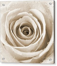 Rose With Water Droplets - Sepia Acrylic Print by Natalie Kinnear