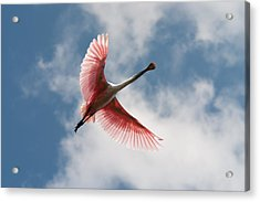 Roseate Soaring Acrylic Print by Paul Rebmann