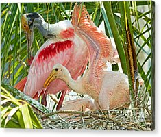 Roseate Spoonbill Adult And Nestlings Acrylic Print by Millard H. Sharp