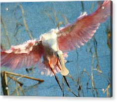 Da203 Roseate Spoonbill By Daniel Adams Acrylic Print