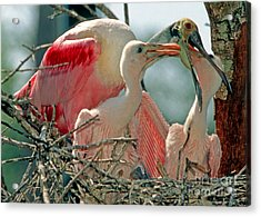 Roseate Spoonbill Feeding Young At Nest Acrylic Print by Millard H. Sharp