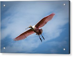 Roseate Spoonbill In Flight Acrylic Print by Gregory Daley  PPSA