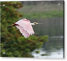 Roseate Spoonbill In Flight Acrylic Print