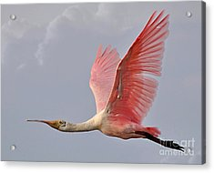 Acrylic Print featuring the photograph Roseate Spoonbill In Flight by Kathy Baccari