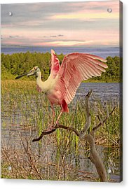 Roseate Spoonbill At Lake St. George Acrylic Print by Schwartz