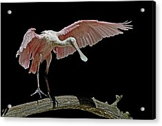 Roseate Spoonbill Acrylic Print by Stuart Harrison