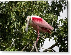 Roseate Spoonbill  What Are You Looking At 2 Acrylic Print