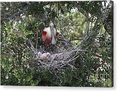 Roseate Spoonbill With Chicks Acrylic Print