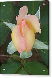 Acrylic Print featuring the photograph Rosebud by Belinda Lee