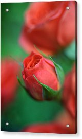 Rosebud  Acrylic Print by Kathy Yates