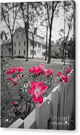 Roses Along A Picket Fence Deerfield Massachuesetts Acrylic Print by Edward Fielding