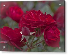 Roses And Roses Acrylic Print