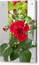 Acrylic Print featuring the photograph Roses Are Red by Joann Copeland-Paul