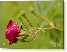 Roses Are Red Acrylic Print by Nick  Boren