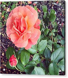 Roses Are Salmon...wait, What!? Acrylic Print