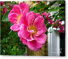 Roses In The Summer Acrylic Print by Anne Gordon