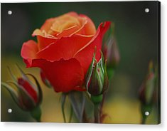 Roses Acrylic Print by Jean-Jacques Thebault