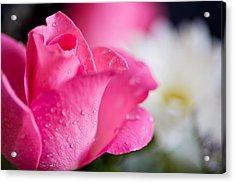 Roses Acrylic Print by John Holloway