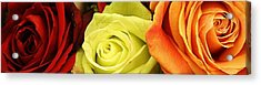 Roses Of Different Colors Acrylic Print by Bruce Bley