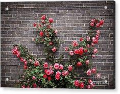 Roses On Brick Wall Acrylic Print by Elena Elisseeva