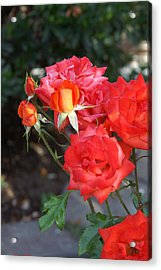 Roses- Rosey- All Red-almost Acrylic Print by Thomas D McManus