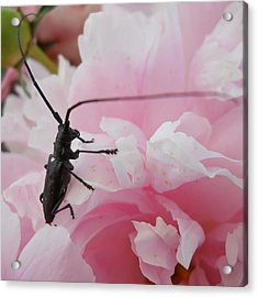 Rosey Antenna Reception Acrylic Print