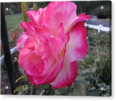 Rosey Rose Acrylic Print