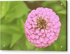 Rosy Corsage Acrylic Print by JAMART Photography