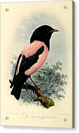 Rosy Starling Acrylic Print by Rob Dreyer