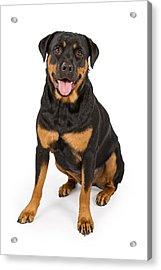 Rottweiler Dog Isolated On White Acrylic Print by Susan Schmitz