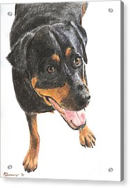 Rottweiler Looking Up Acrylic Print